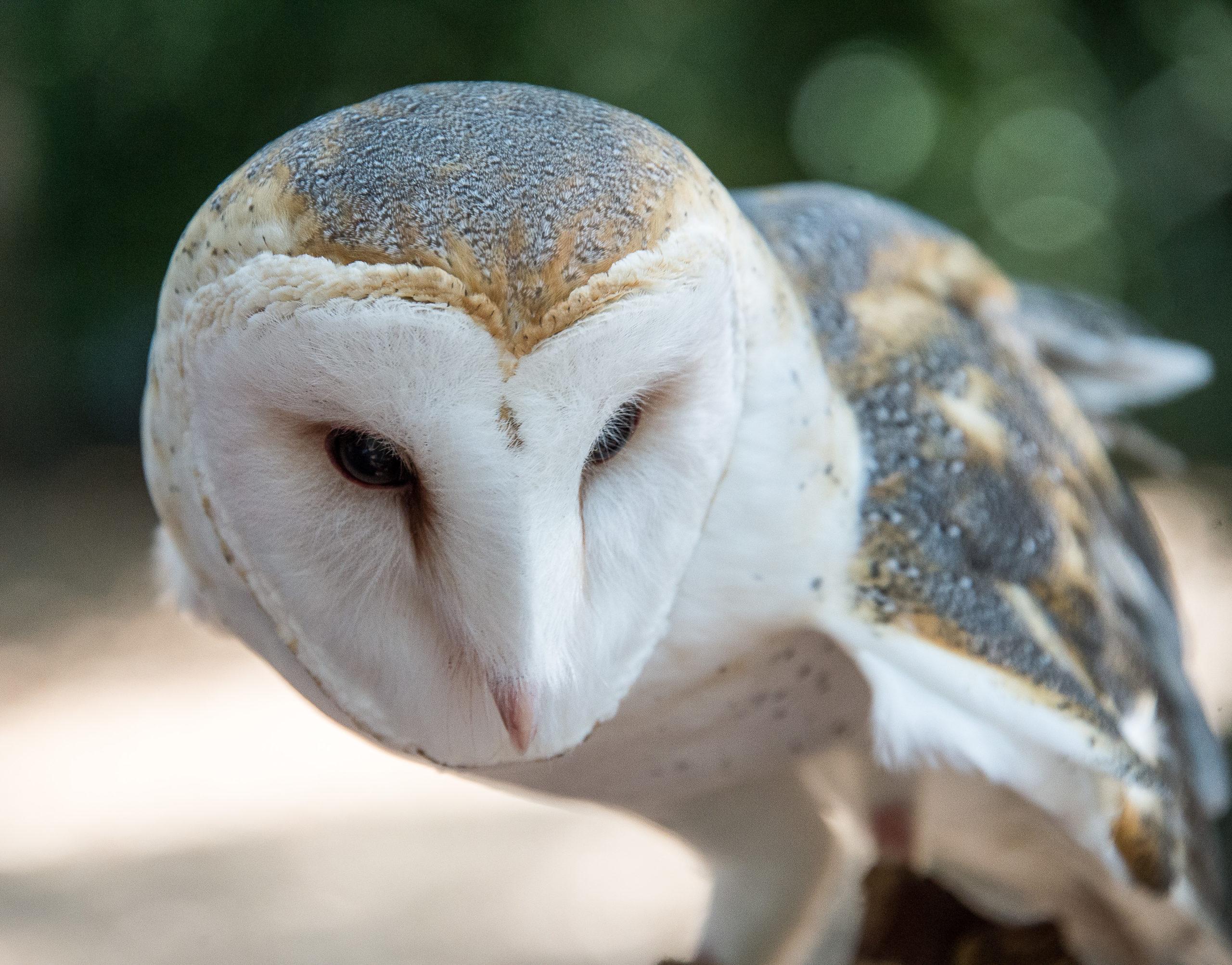 Barn Owl - Lindsay Wildlife Experience